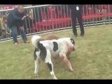 Собачьи бои чемпионат в Китае 2014 бандог vs сао алабай