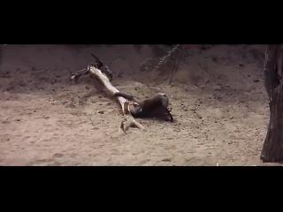 п'яні тварини в савані