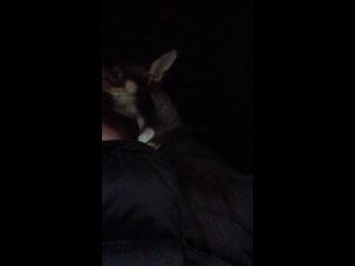Собака поет, мой Чихуахуа, Саймон ❤️🐶