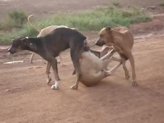 случка у собак,групповуха=)