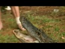 Укротители аллигаторов. Две укротительницы друг против друга