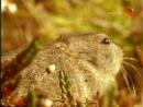 BBC Наедине с природой 59 Страна леммингов