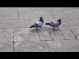 Чувство ритма о голубей