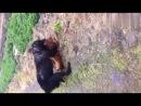 Собачьи бои тибетский мастиф vs питбуль