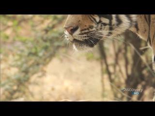 Бенгальские тигры. Материнская любовь