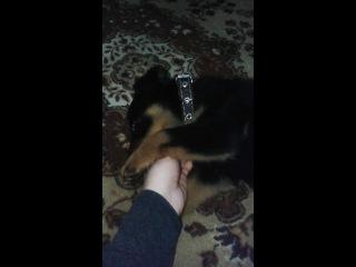Ротвейлер-самый злой пес на свете!!!