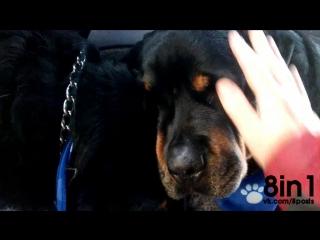 Собака ротвейлер скорбит у тела своего умершего  брата / Heartbreaking, 'Crying' dog grieves for dead brother