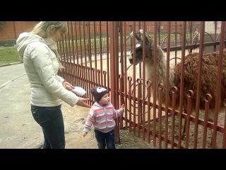 Варвара кормит ламу