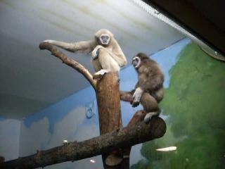 2009 - Новосибирский зоопарк (видео про мавпачек :)