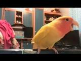 Моя красавица Рикки! Грозный попугай неразлучник))