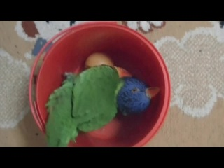 Funny Lorikeet playing wtih a ball in a bucket