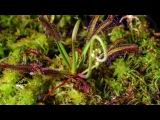 Зловещий ролик о плотоядных растениях!