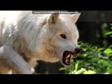«клип» под музыку Boon - Я одинокий Волк, но не один . Picrolla