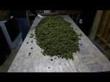 Много сушеных шишек марихуаны