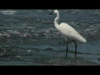 Egretta garzetta (Little egret, малая белая цапля) Sri-Lanka