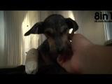 Спасение собаки, оставшейся без задний лап / A brave little dog Jordan gets rescued from the river / Los Angeles
