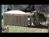 Тигры и львы - большие кошки - тоже любят картонные коробки / BIG CATS like boxes too!