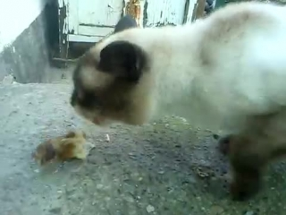 Сиамский кот ест и орет - YouTube_0_1426137916186