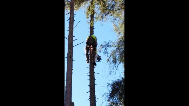 валка деревьев большими частями