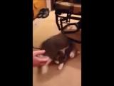 Кот притворяется мертвым чтобы не идти на прогулку