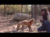 Как лиса просит кушать 😃