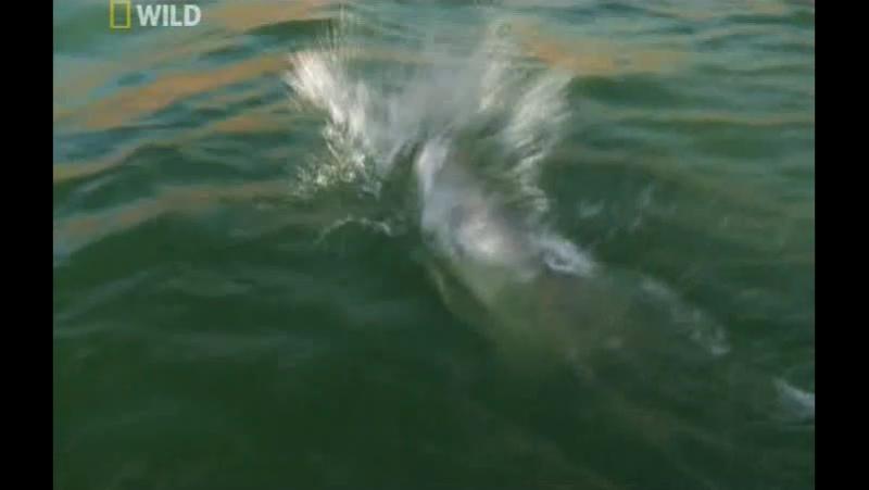 National Geographic: Охотник на пресноводных гигантов (2011) Нильский исполин