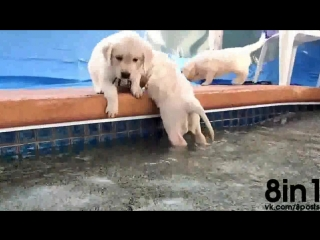 8 щенков лабрадоров впервые плавают в бассейне / Puppies swim and jump in a pool for the first time