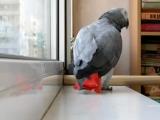 Попугай Гриша исполняет песню Ани Лорак РасскажиЛюблю