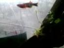 Малёк у петушков вылупился и самца я пересадил на вторые сутки в общий и просторный аквариум.