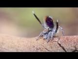 Брачный танец паука-павлина (Maratus volans)