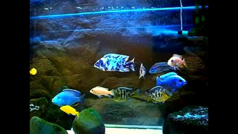 My aquarium. Cichlids oz.Malavi. Utaka.