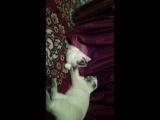 мой кот Дастин скотишь