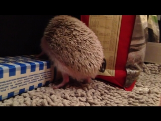 Кактус, африканский еж. Сactus. The African hedgehog
