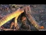 Monitor Lizards Wrestling and Fighting