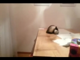 Хорек прыгает со стола