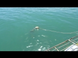 GREAT WHITE SHARK 3. Kleinsbaai, South Africa. 8 MARCH 2015