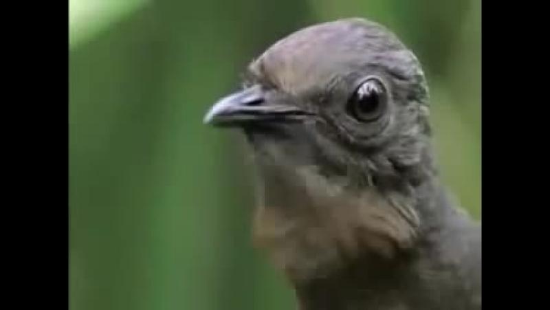 Говорящие попугаи нервно курят в сторонке, птица-диктофон. Видио с fishki.net/video/1442388-govorjawie-popugai-nervno-kur