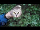 Стабилизатор-гироскоп в голове совы / Northern Saw-whet Owls Impressive Head Control