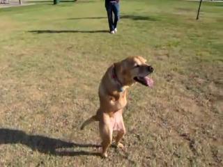 Собака без двух передних лап, только задние (((