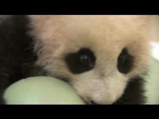 Панда - жадина