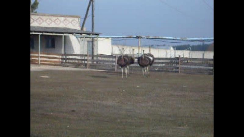 Кузнецовські страуси веселі