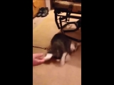 Кот притворяется мертвым, чтобы не идти на прогулку. Смех до упада!