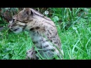 Fishing cat / Кошка-рыболов / Prionailurus viverrinus