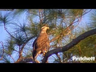 SW Fla eagles 1 5 16 452pm Young 3 and half yr eagle spends time at nest with H alarming calling
