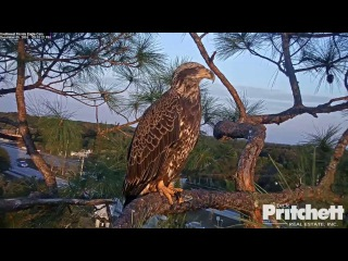 SWFL Eagles ~ Sub Adult Visits While Harriet is on the Nest 12.5.16