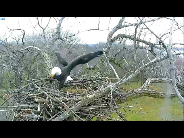 Arconic Eagles Iowa11.25.16 Liberty Justice working hard on their nest today