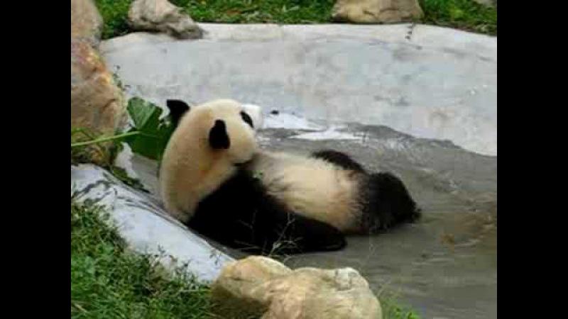 Panda bath熊貓比力浸浴