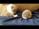 ORIGINAL VIDEO Kitty sits on hedgehog