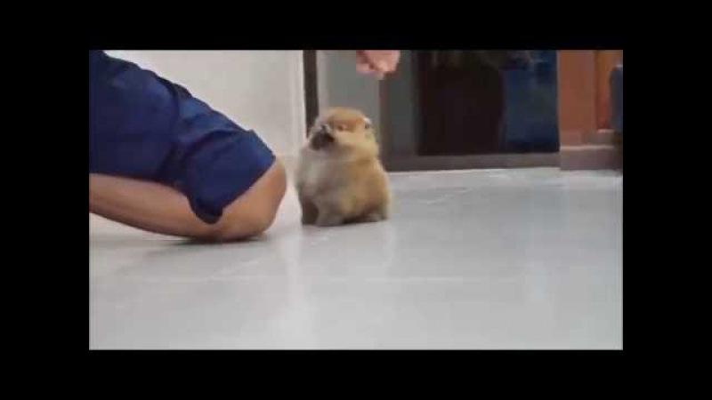 Пушистый маленький щенок / Cute little fluffy puppy