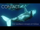 CONTACT The Humpback Whales of Tonga